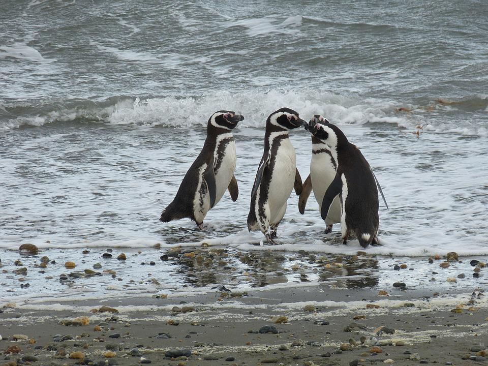 Chile, South America, Patagonia, Punta Arenas, Penguin