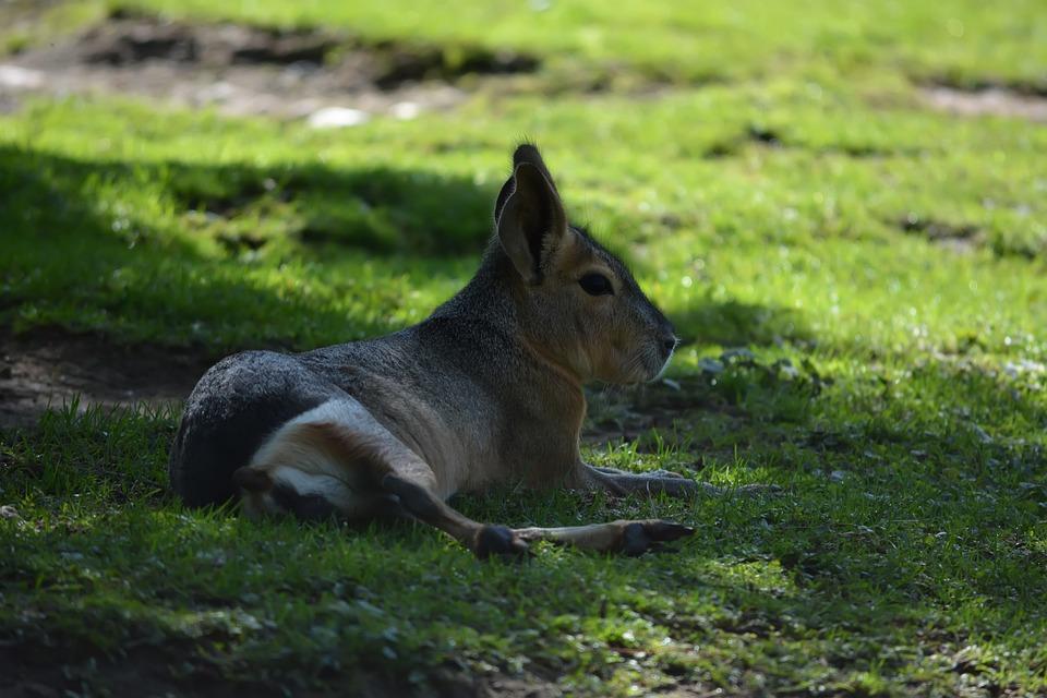 Patagonian Mara, Animal, Zoo, Patagonian Cavy