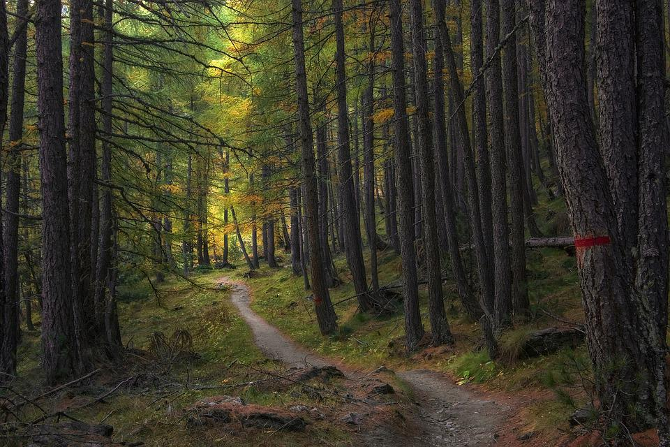 Trail, Trees, Forest, Path, Woods, Larch, Autumn