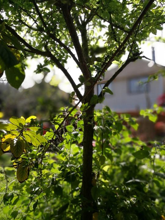 Tree, Plum, Green, Patio, Background, Vegetation