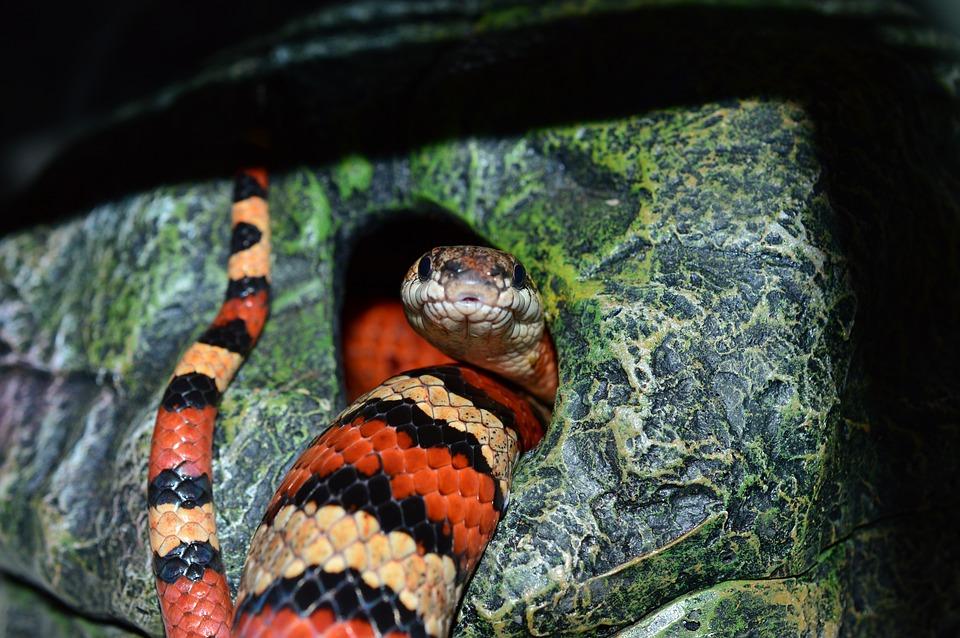 Snake, Pattern, Chain Natter, Constrictor, Hunger