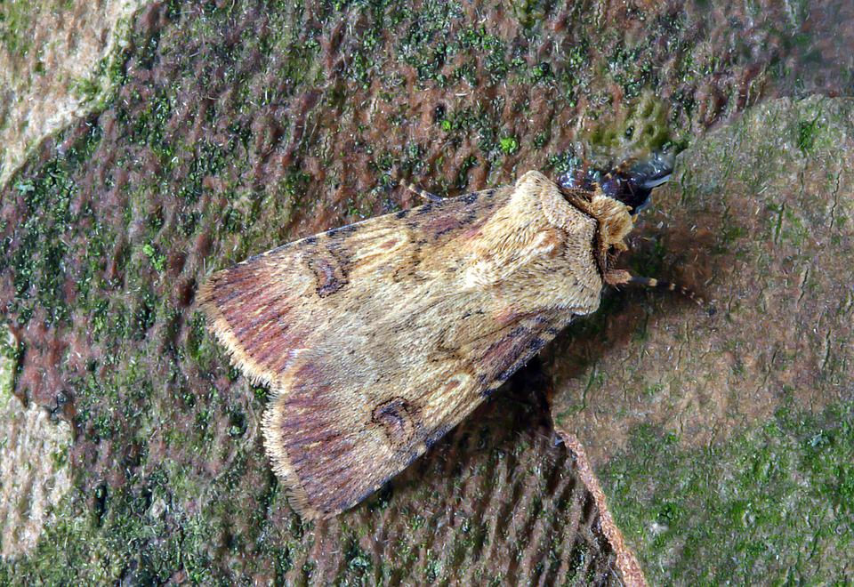 Shuttle-shaped-dart, Moth, Wings, Pattern, Insect