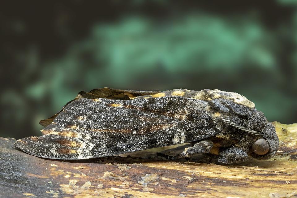 Moth, Deaths Head Hawk-moth, Pattern, Nature, Skull