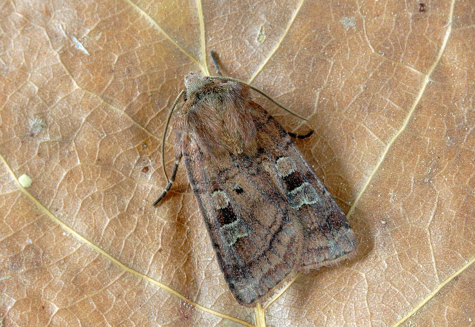 Small-square-spot, Moth, Wings, Pattern, Insect, Nature