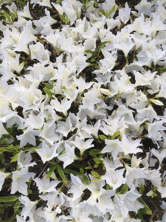 Flower, White, Nature, Plant, Floral, Blossom, Pattern
