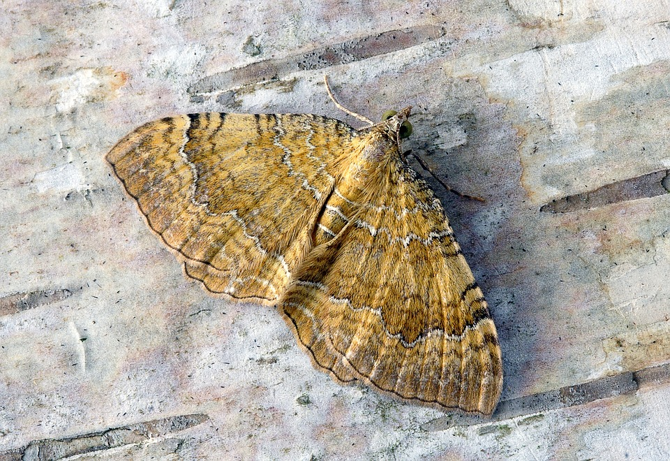 Moth, Yellow-shell, Wings, Pattern, Summer, Nature