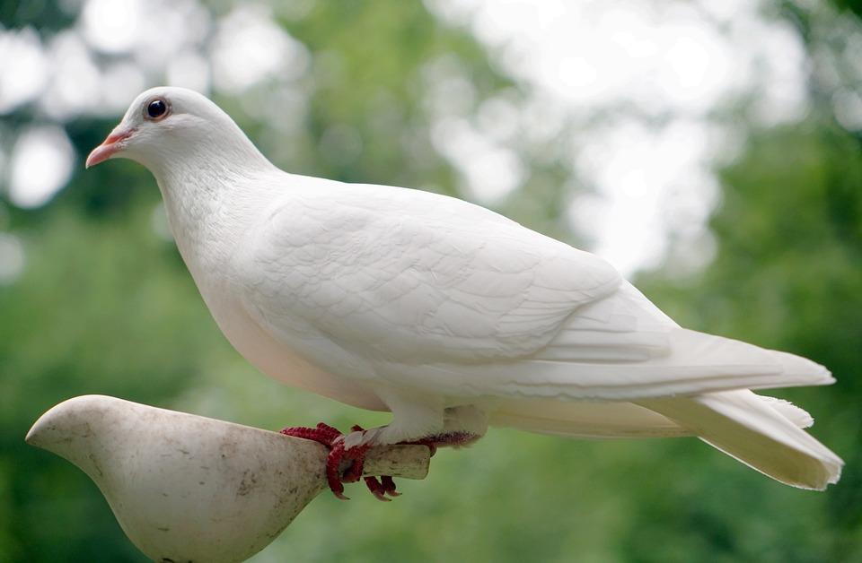 Free Photo Peace White Bird Symbol Dove Hope Nature Max Pixel