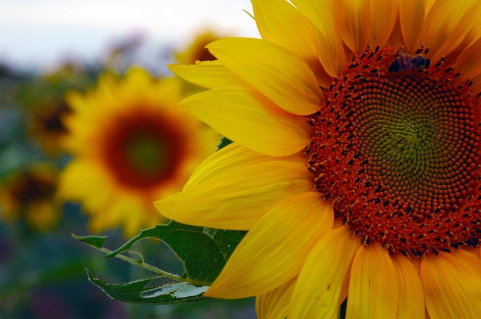 free photo peace yellow nature beauty sunflower peaceful max pixel