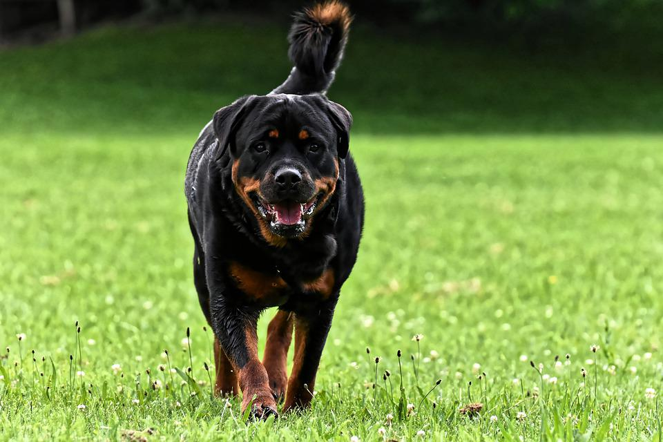 Rottweiler, Purebred Dog, Animal, Dog, Peaceful, Pet