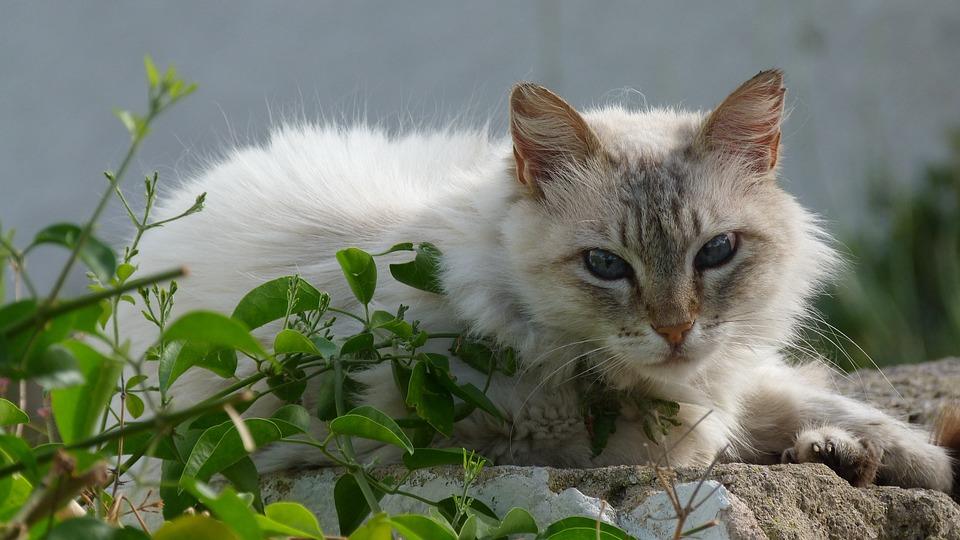 Cat, Grey White, Domestic Cat, Pet, Peaceful, Enjoy