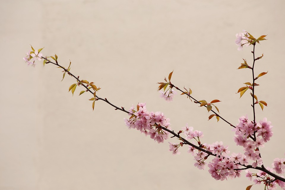 Peach Blossom, Natural, China Wind