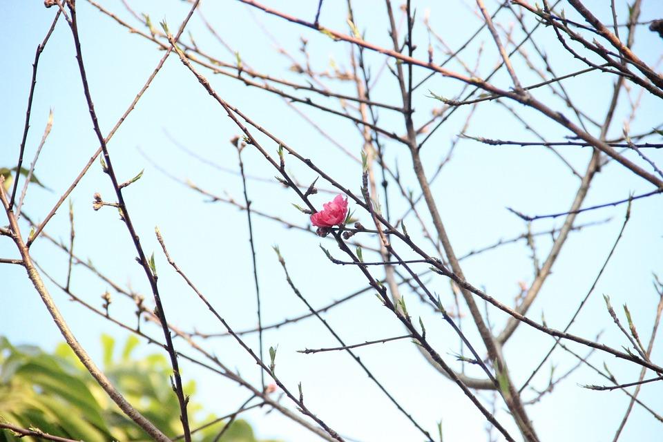 Peach Blossom, Flower, Illustration