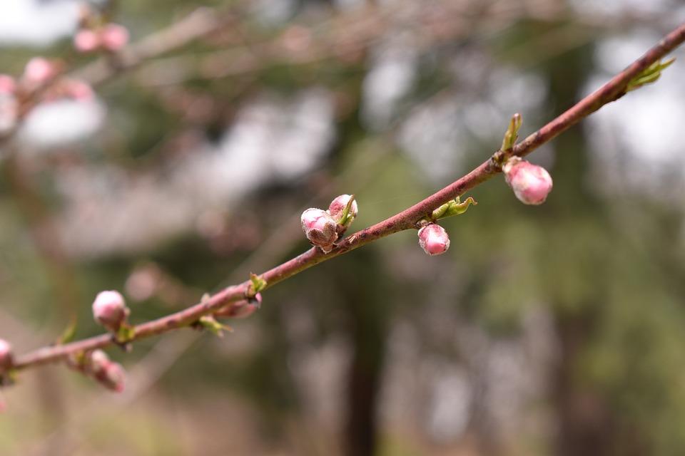 Peach, Flowers, Wood, Buds, Peach Blossom