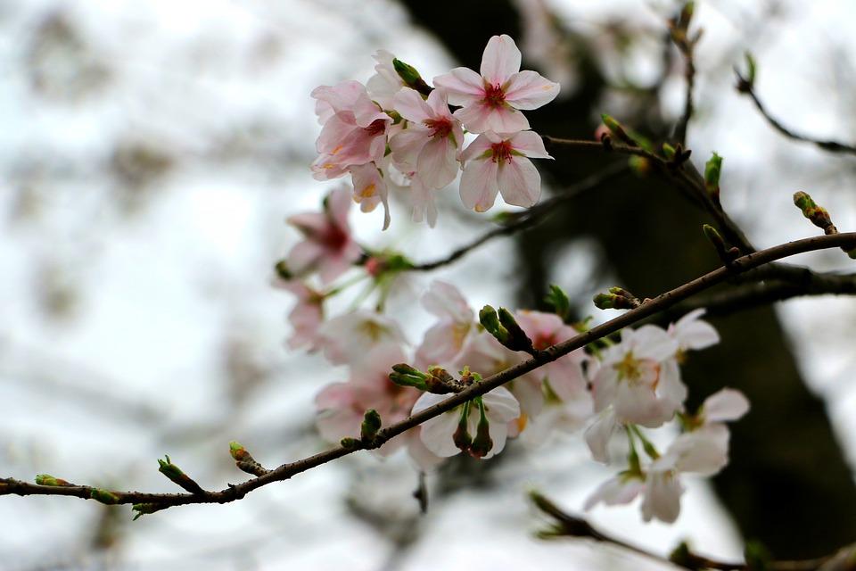Peach Blossom, Branch, Pink