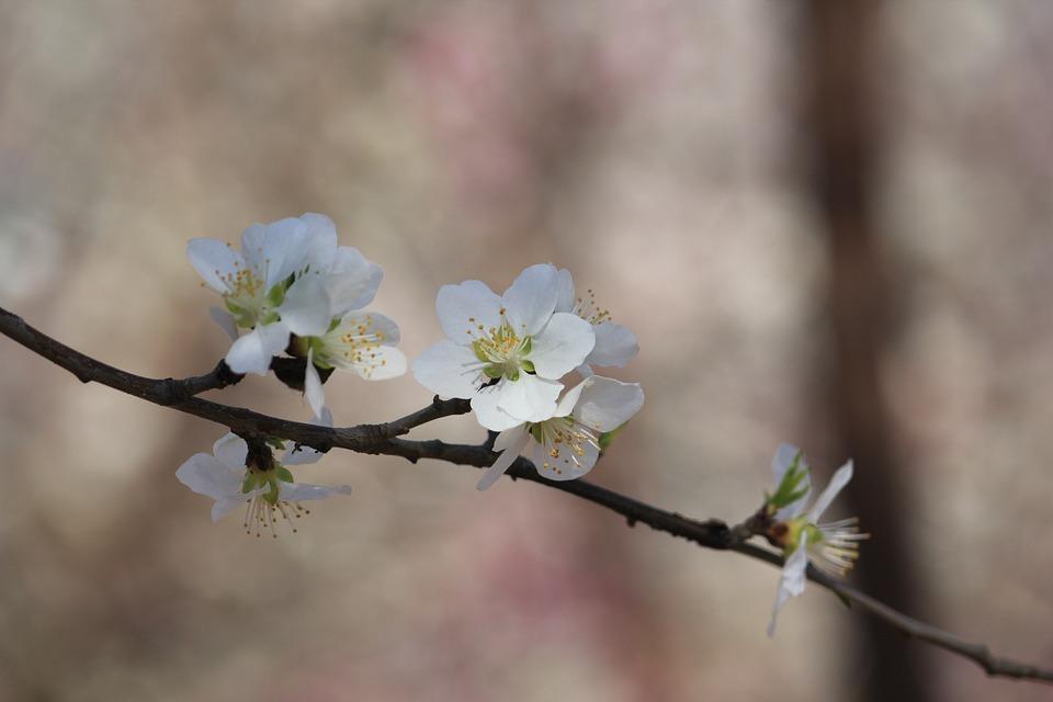 Peach Blossom, Peach Embankment, Tianjin Hongqiao
