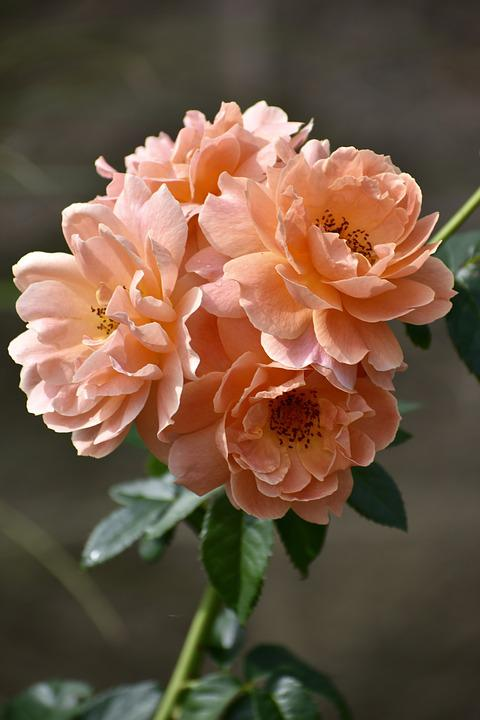 Rose, Peach, Flower, Floral, Garden, Nature, Blossom