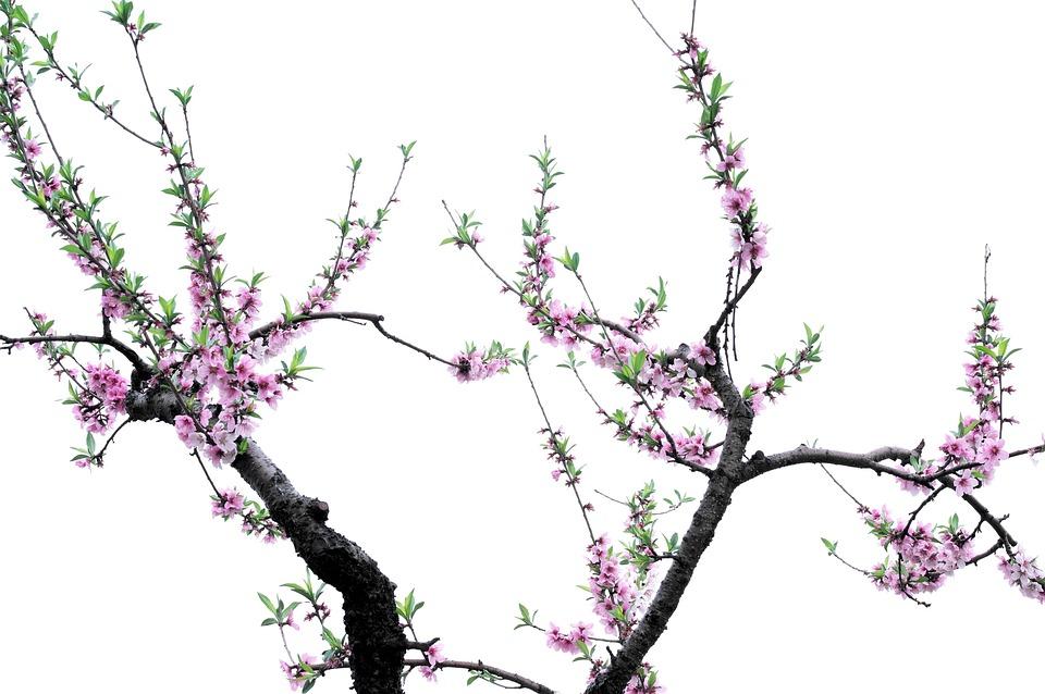 A Peach Blossom, Peach, Flower, Spring, Beautiful, Tree