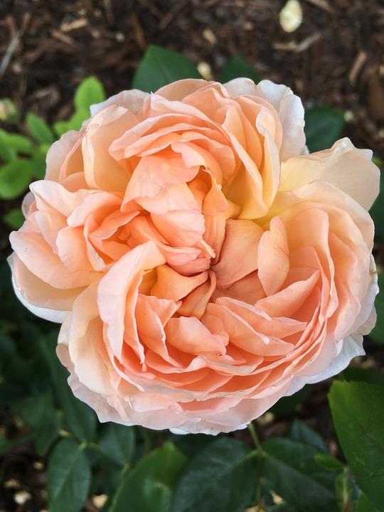 Rose, Flower, Peach, Blossom, Summer, Floral