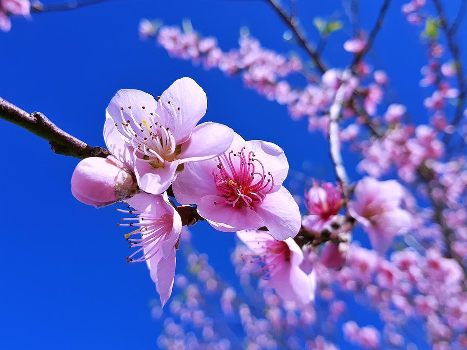 Peache Flowers, Flowers, Nature