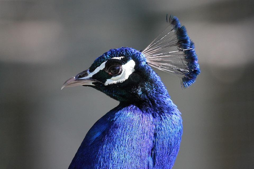 Peacock, Head, Eye, Peacock Feathers, Color, Exotic
