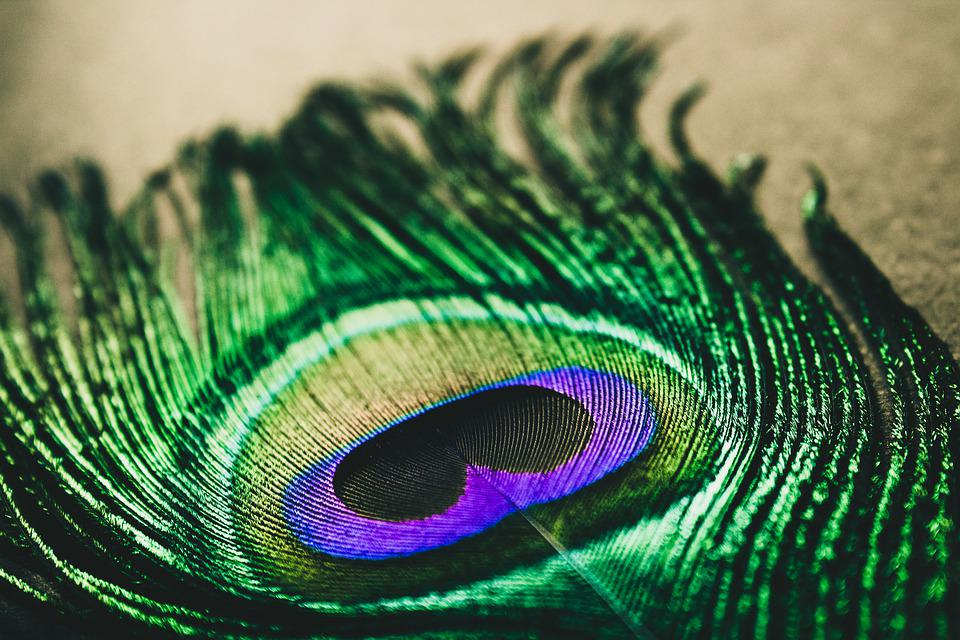 Peacock Feather, Peacock, Colorful, Peacock Feathers