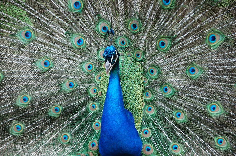 Peacock, Zoo, Petting, Blue, Green, Colors, Animal