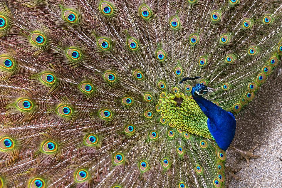 Peacock, Feather, Bird, Peafowl, Tail, Vibrant, Pattern