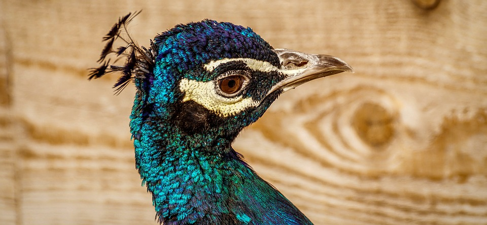 Peacock, Bird, Plumage, Pride, Feather, Bill, Gorgeous
