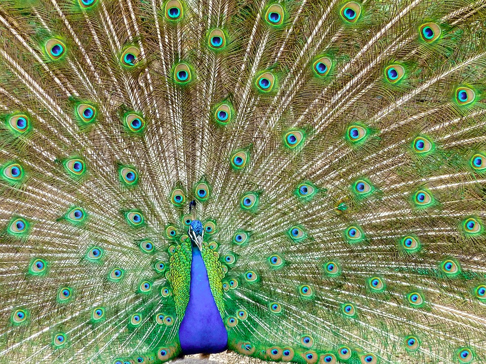 Peacock, Color, Bird, Colorful, Peacock Feathers