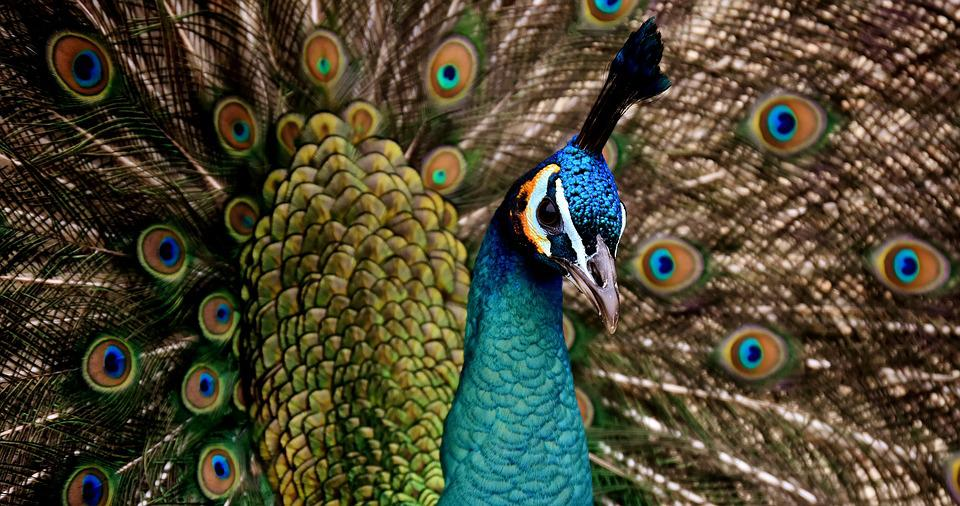 Peacock, Peacock Feathers, Colorful, Bird, Plumage