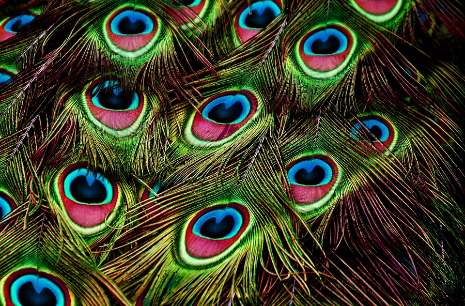 Peacock Feathers, Feather, Color, Plumage, Iridescent