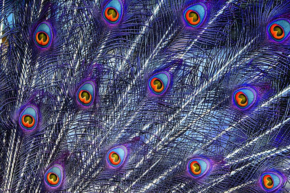 Peacock Feathers, Color, Plumage, Iridescent, Animal