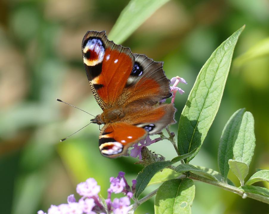 Peacock, Butterfly, Nature, Colorful, Wing