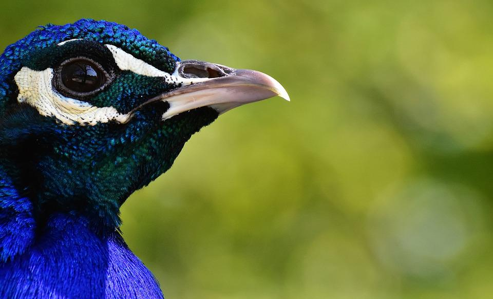 Peacock, Bird, Poultry, Feather, Bill, Nature, Pride