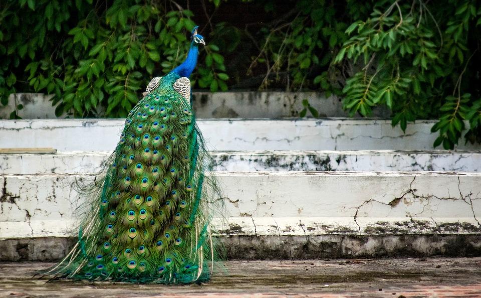 Peacock, Bird, Plumage, Feather, Peacock Feather