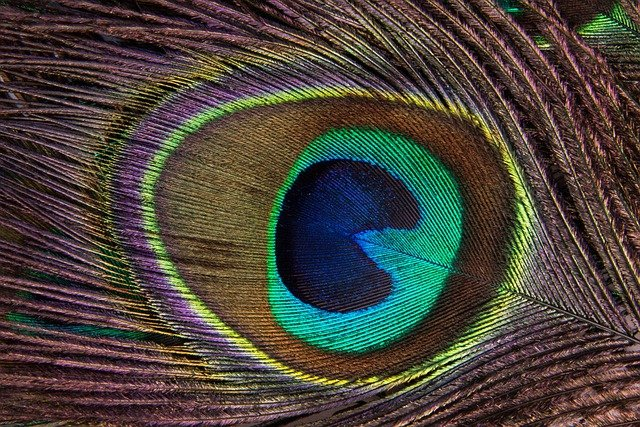Peacock Feather, Peacock, Structure, Pavo Cristatus