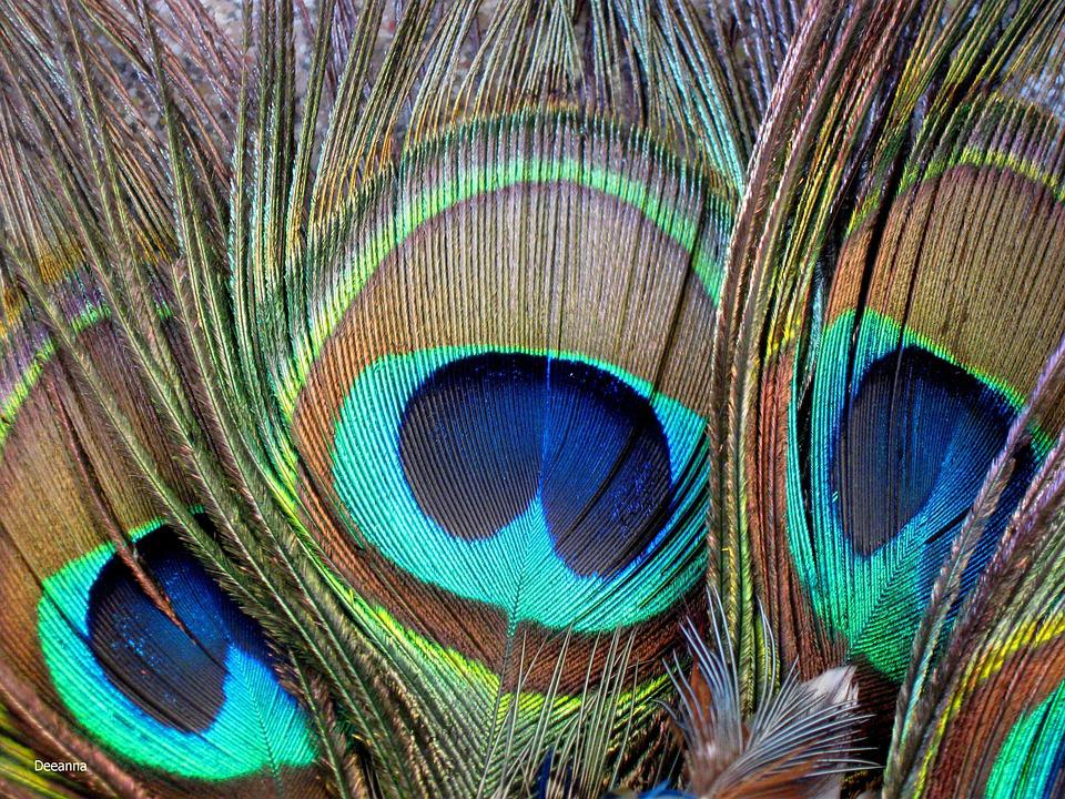 Pen, Color, Plumage, Bird, Peacock