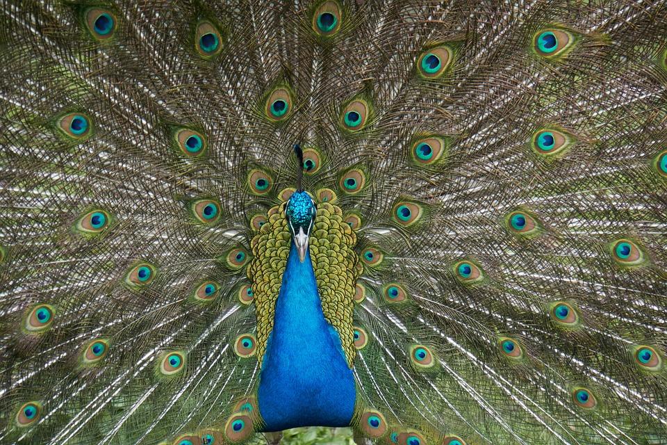 Peacock, Bird, Feather, Tail, Ritual