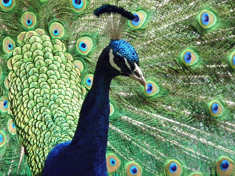 free photo peafowl peacock attractive bird bright colors max pixel
