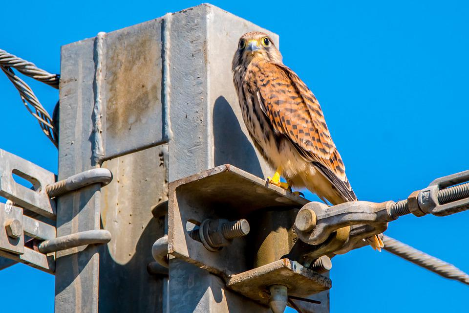 Bird Of Prey, Falcon, Soliquer, Peak, Ave, Animal