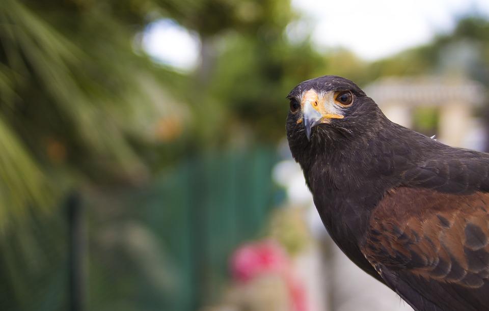 Aguila, Bird Of Prey, Ave, Peak, Feathers