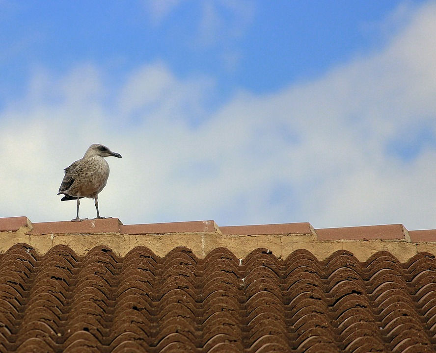 Seagull, Breeding, Ave, Chick, Peak, Solo, Roof