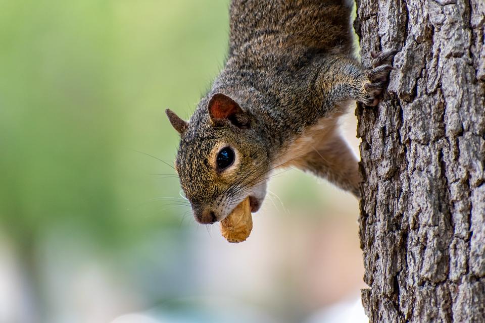 Squirrel, Peanut, Animal, Rodent, Eating, Park, Nature