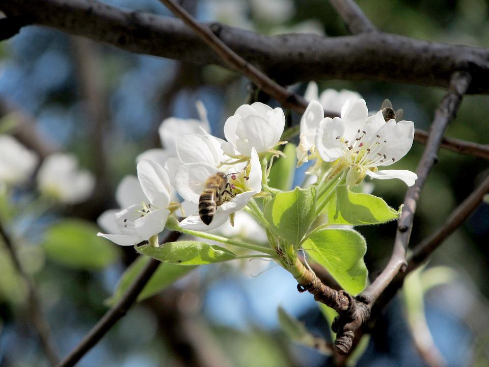 Pear, Flower, Bee, Spring, Nature, Bee On Flower