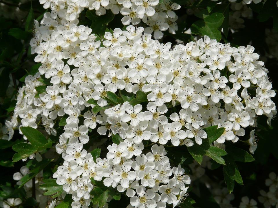 Pear Blossom, Pear, Blossom, Bloom, Bloom, White, Tree