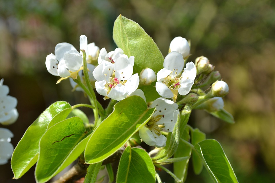 Pear, Blossom, Flower, Pink, Close-up, Bud, Nature, Sun