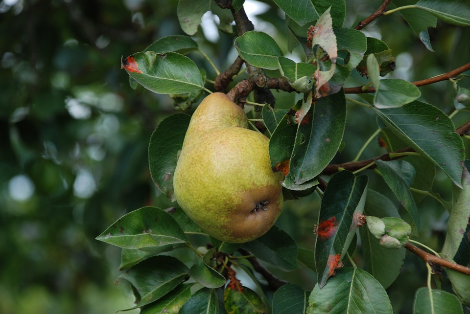 Pear, Tree, Fruit, Fruits, Nature, Healthy, Vitamins