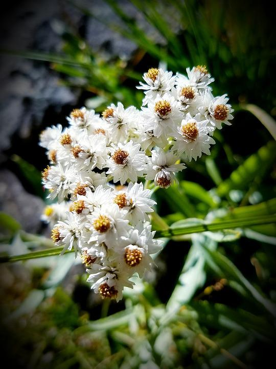 Pearly Everlasting, White Flowers, Feverfew