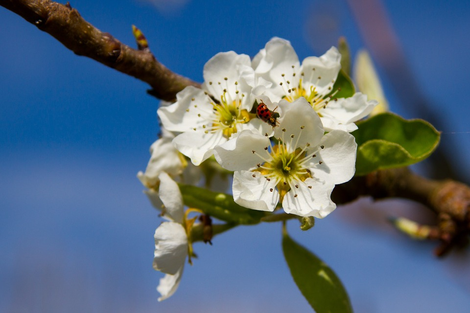 Pears, Blossom, Bloom, Pear Blossom, Nature, Blossom