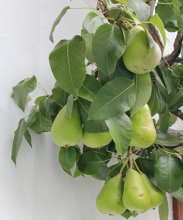 Green, Pears, Fruit Tree, Espalier Tree, Pome Fruit